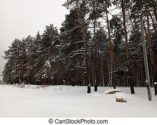 pine forest in the snow in winter