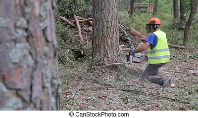 A pine tree falls after being cut. A lumberjack cuts pine...