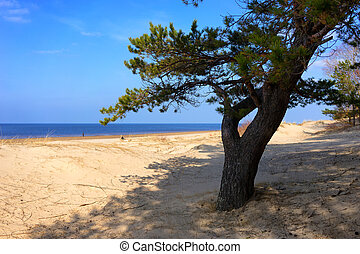 A pine tree in the sand dunes of the Baltic Sea