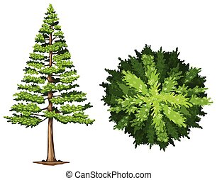 A pine tree on a white background