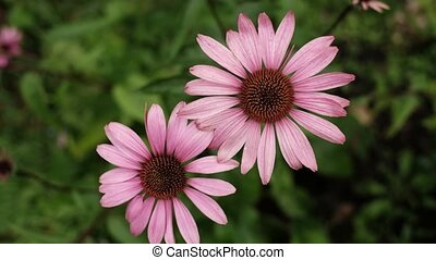 A pink chamomile flower close up