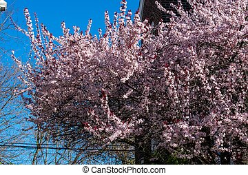 A Pink Cherry Blossom Tree on a Clear Blue Sky