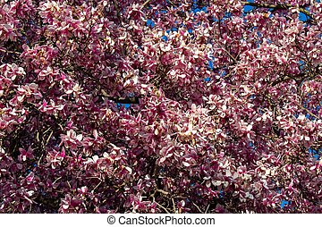 A Pink Cherry Blossom Tree on a Suburban Front Yard