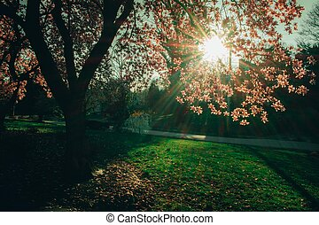 A Pink Cherry Blossom Tree on a Suburban Front Yard With the Sun Shining Through