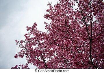 A Pink Cherry Blossom Tree on an Overcast Sky