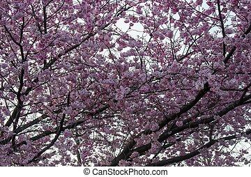 A Pink Cherry Blossom Tree on an Overcast Sky in Suburban Pennsylvania