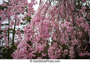 A Pink Cherry Blossom Tree on the Lawn of a Business in Suburban Pennsylvania