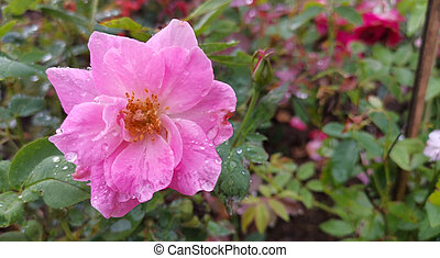 A pink Damask rose with water droplets on the flower petals.