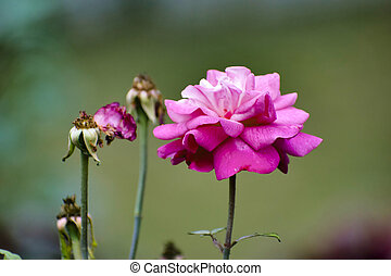 A pink garden rose.