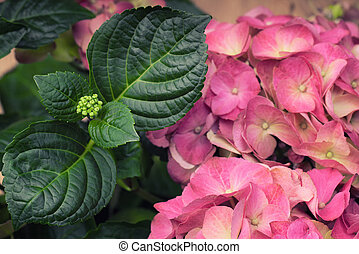 A pink hortensia flower with a green leaves