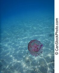 A pink jellyfish in the Ligurian Sea, Italy