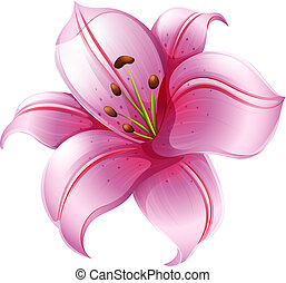 A pink lily flower - Illustration of a pink lily flower on a...