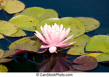 A pink lotus floating on water.