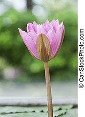 A pink lotus flower