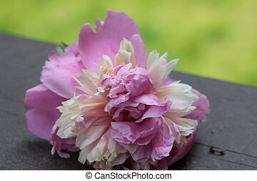 A Pink Peony flower close up