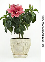 A Pink Room Rose in a Pot