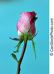 A pink Rose bud