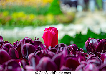 A pink tulip in purple tulips