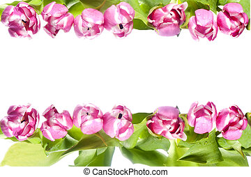 pink tulip  - a pink tulip on a white background