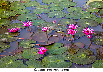 A pink water lily in a pond