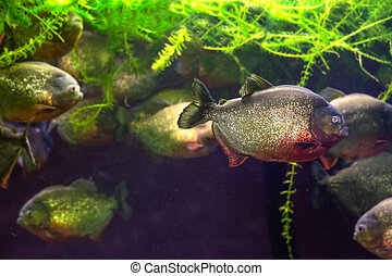 A piranha swims out of the group