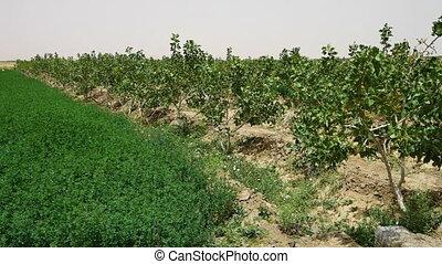 A pistachio farm - A wide shot of a pistachio farm.