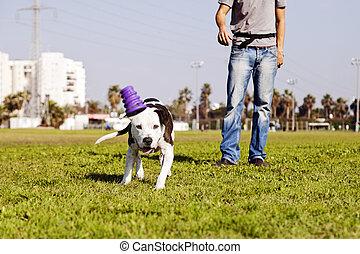 a, pitbull, 犬, 後で走る, ∥そ∥, おもちゃをかみなさい, ∥で∥, ∥そ∥, 所有者, 地位, 終わり, by.