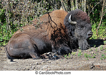 A plains bison sleeping on the ground in the summer