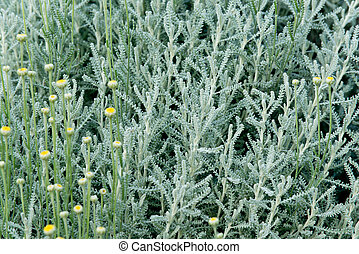 lavender cotton - a plant of lavender cotton in the garden
