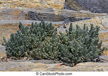 a plant variety living in a stone