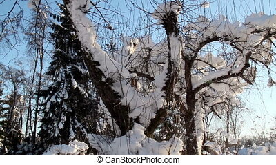 A plant with lots of dry stems covered with snow
