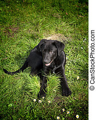 A playful black labrador retriever in the green grass outdoors