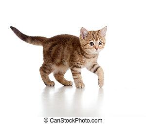 A playful kitten. Brittish breed. Tabby.