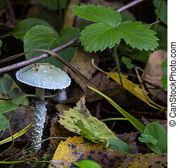 a poisonous blue-green mushroom in the autumn forest. Stropharia aeruginosa