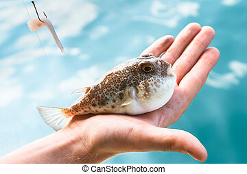 A poisonous puffer fish (Fugu) is lying on the palm of hand, caught while fishing in the Gulf of Thailand.