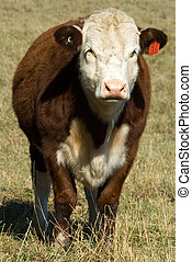 A Pole Hereford breed of cattle