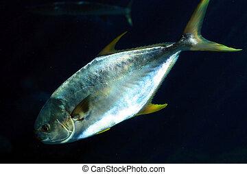 a pompano fish in dark water