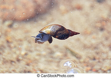 A pond snail floating on the surface of the water