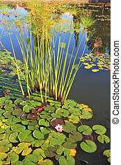 A pond with blooming lilies
