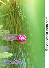 a pond with red water lily