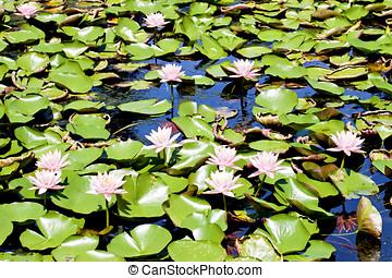 bloom lotus