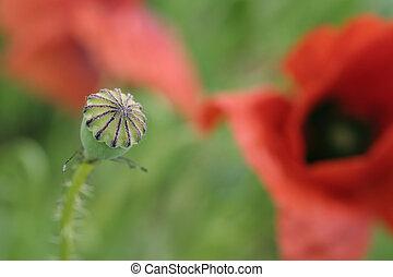 poppy - a poppy detail