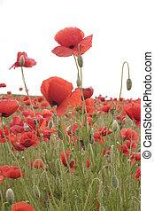 poppy - a poppy field