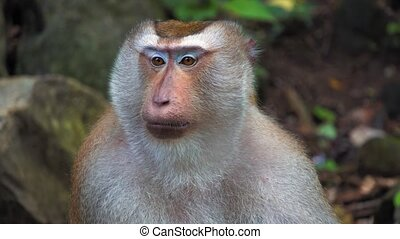 a porter of a monkey in a rainforest. large face, emotions of primates