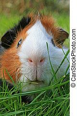 Guinea Pig Face - A Portrait from a Guinea Pig Face