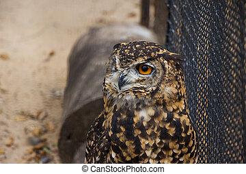 Cape Eagle Owl in Captivity