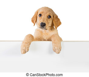 Golden retriever dog holding on a white plank board