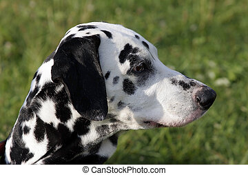 A portrait of a dalmatian.