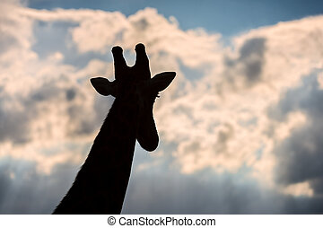 A portrait of a giraffe with long eyelashes looking into the distance