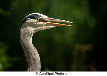 A portrait of a grey heron in direct sunlight - A portrait ...